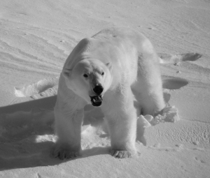 Polar bear habitat has been affected by warming trends