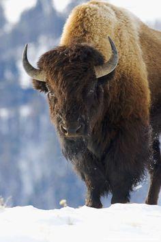 buffalo4