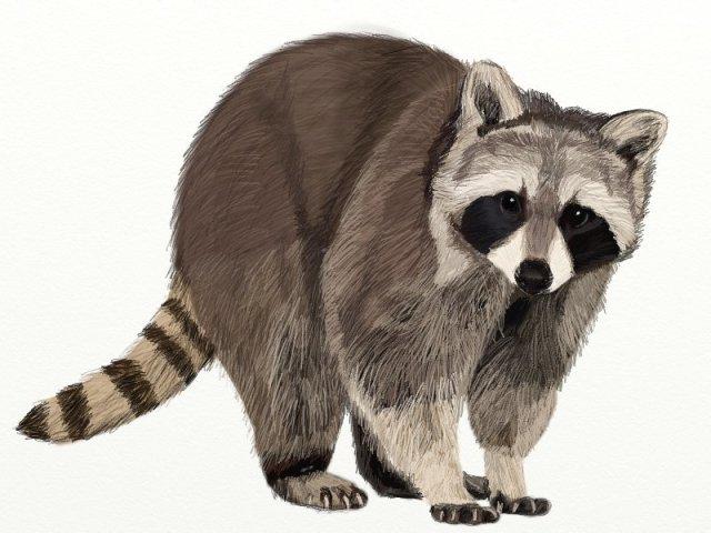 raccoon-drawing