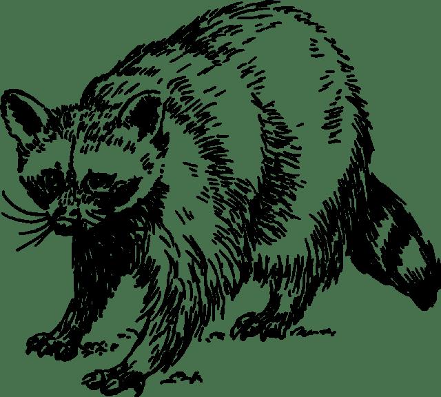 kisscc0-baby-raccoon-giant-panda-squirrel-drawing-raccoon-5b755012b8d972.1025568215344148667572